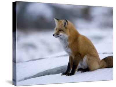Red Fox, Vulpes Vulpes, Churchill, Manitoba, Canada-Thorsten Milse-Stretched Canvas Print