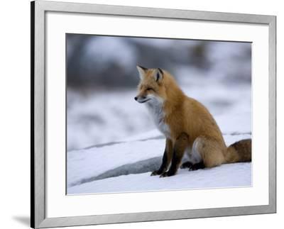 Red Fox, Vulpes Vulpes, Churchill, Manitoba, Canada-Thorsten Milse-Framed Photographic Print