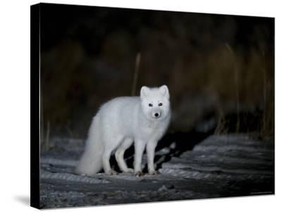 Arctic Fox, Alopex Lagopus, Churchill, Manitoba, Canada-Thorsten Milse-Stretched Canvas Print