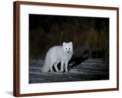 Arctic Fox, Alopex Lagopus, Churchill, Manitoba, Canada-Thorsten Milse-Framed Photographic Print