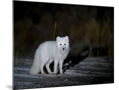 Arctic Fox, Alopex Lagopus, Churchill, Manitoba, Canada-Thorsten Milse-Mounted Photographic Print