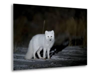 Arctic Fox, Alopex Lagopus, Churchill, Manitoba, Canada-Thorsten Milse-Metal Print
