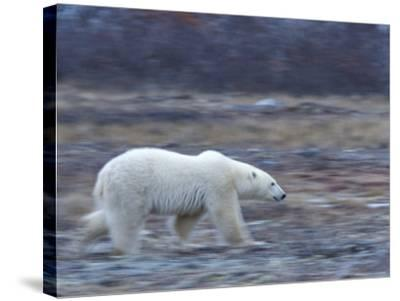 Polar Bear, Ursus Maritimus, Churchill, Manitoba, Canada-Thorsten Milse-Stretched Canvas Print