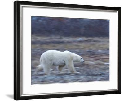 Polar Bear, Ursus Maritimus, Churchill, Manitoba, Canada-Thorsten Milse-Framed Photographic Print