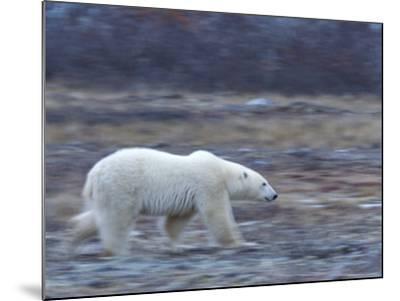 Polar Bear, Ursus Maritimus, Churchill, Manitoba, Canada-Thorsten Milse-Mounted Photographic Print