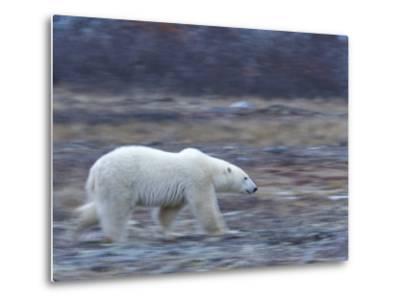 Polar Bear, Ursus Maritimus, Churchill, Manitoba, Canada-Thorsten Milse-Metal Print