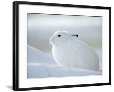 Snow Hare (Lepus Americanus), Churchill, Manitoba, Canada-Thorsten Milse-Framed Photographic Print