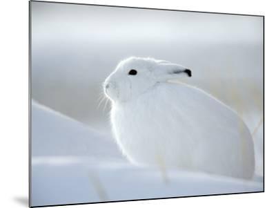 Snow Hare (Lepus Americanus), Churchill, Manitoba, Canada-Thorsten Milse-Mounted Photographic Print