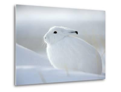 Snow Hare (Lepus Americanus), Churchill, Manitoba, Canada-Thorsten Milse-Metal Print