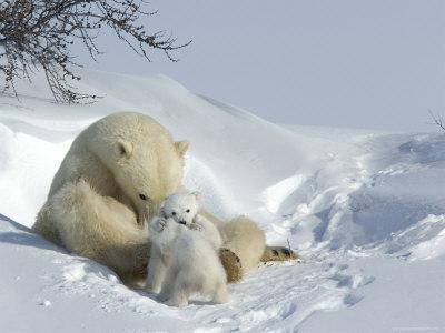 Polar Bear (Ursus Maritimus) Mother with Twin Cubs, Wapusk National Park, Churchill, Manitoba-Thorsten Milse-Framed Photographic Print