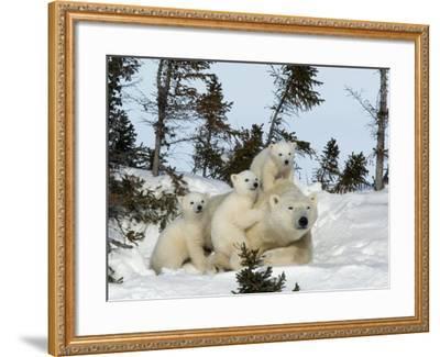 Polar Bear (Ursus Maritimus) Mother with Triplets, Wapusk National Park, Churchill, Manitoba-Thorsten Milse-Framed Photographic Print