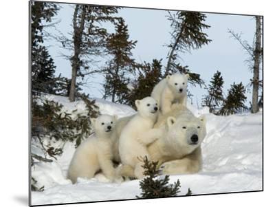 Polar Bear (Ursus Maritimus) Mother with Triplets, Wapusk National Park, Churchill, Manitoba-Thorsten Milse-Mounted Photographic Print