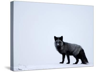 Silverfox (Red Fox) (Vulpes Vulpes), Churchill, Hudson Bay, Manitoba, Canada-Thorsten Milse-Stretched Canvas Print