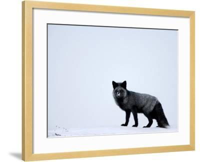 Silverfox (Red Fox) (Vulpes Vulpes), Churchill, Hudson Bay, Manitoba, Canada-Thorsten Milse-Framed Photographic Print