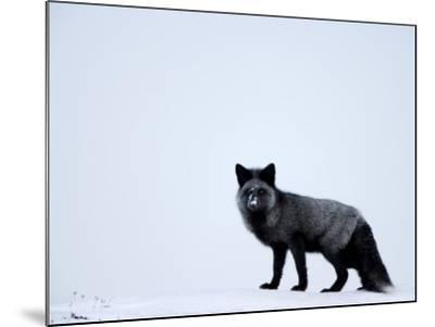 Silverfox (Red Fox) (Vulpes Vulpes), Churchill, Hudson Bay, Manitoba, Canada-Thorsten Milse-Mounted Photographic Print