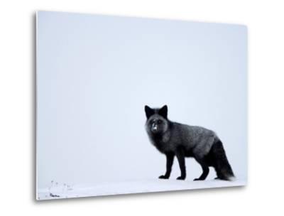 Silverfox (Red Fox) (Vulpes Vulpes), Churchill, Hudson Bay, Manitoba, Canada-Thorsten Milse-Metal Print