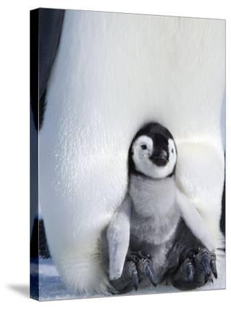 Emperor Penguin Chick (Aptenodytes Forsteri), Snow Hill Island, Weddell Sea, Antarctica-Thorsten Milse-Stretched Canvas Print