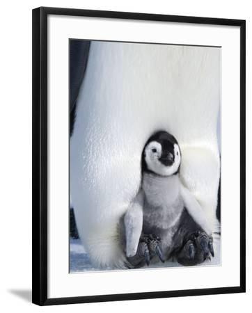 Emperor Penguin Chick (Aptenodytes Forsteri), Snow Hill Island, Weddell Sea, Antarctica-Thorsten Milse-Framed Photographic Print