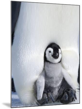 Emperor Penguin Chick (Aptenodytes Forsteri), Snow Hill Island, Weddell Sea, Antarctica-Thorsten Milse-Mounted Photographic Print