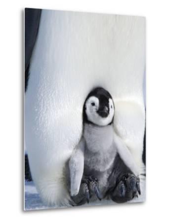 Emperor Penguin Chick (Aptenodytes Forsteri), Snow Hill Island, Weddell Sea, Antarctica-Thorsten Milse-Metal Print