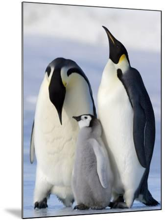 Emperor Penguins (Aptenodytes Forsteri) and Chick, Snow Hill Island, Weddell Sea, Antarctica-Thorsten Milse-Mounted Photographic Print