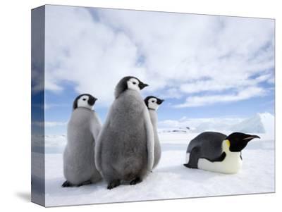 Emperor Penguin (Aptenodytes Forsteri) and Chicks, Snow Hill Island, Weddell Sea, Antarctica-Thorsten Milse-Stretched Canvas Print
