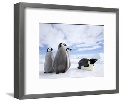 Emperor Penguin (Aptenodytes Forsteri) and Chicks, Snow Hill Island, Weddell Sea, Antarctica-Thorsten Milse-Framed Photographic Print