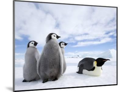 Emperor Penguin (Aptenodytes Forsteri) and Chicks, Snow Hill Island, Weddell Sea, Antarctica-Thorsten Milse-Mounted Photographic Print