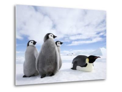 Emperor Penguin (Aptenodytes Forsteri) and Chicks, Snow Hill Island, Weddell Sea, Antarctica-Thorsten Milse-Metal Print
