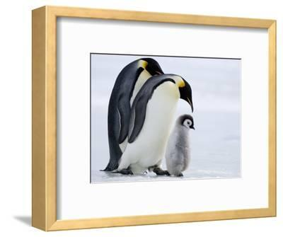 Emperor Penguins (Aptenodytes Forsteri) and Chick, Snow Hill Island, Weddell Sea, Antarctica-Thorsten Milse-Framed Photographic Print