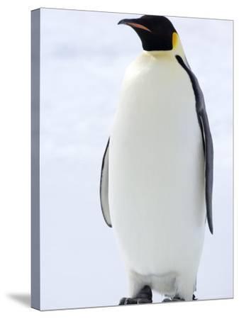 Emperor Penguin (Aptenodytes Forsteri), Snow Hill Island, Weddell Sea, Antarctica, Polar Regions-Thorsten Milse-Stretched Canvas Print