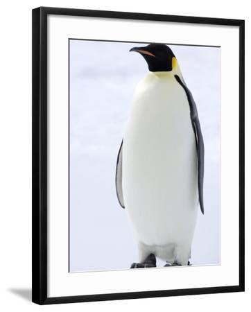 Emperor Penguin (Aptenodytes Forsteri), Snow Hill Island, Weddell Sea, Antarctica, Polar Regions-Thorsten Milse-Framed Photographic Print
