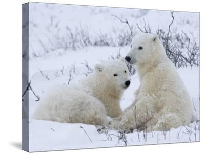 Polar Bears (Ursus Maritimus), Churchill, Hudson Bay, Manitoba, Canada-Thorsten Milse-Stretched Canvas Print
