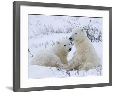 Polar Bears (Ursus Maritimus), Churchill, Hudson Bay, Manitoba, Canada-Thorsten Milse-Framed Photographic Print