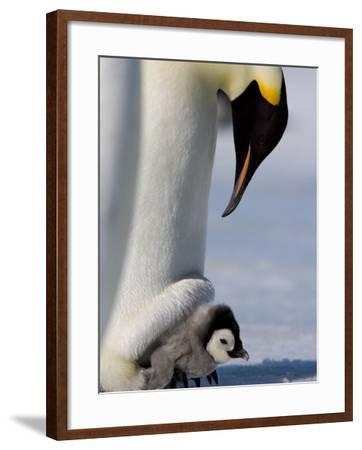 Emperor Penguin (Aptenodytes Forsteri) and Chick, Snow Hill Island, Weddell Sea, Antarctica-Thorsten Milse-Framed Photographic Print
