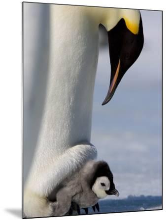Emperor Penguin (Aptenodytes Forsteri) and Chick, Snow Hill Island, Weddell Sea, Antarctica-Thorsten Milse-Mounted Photographic Print