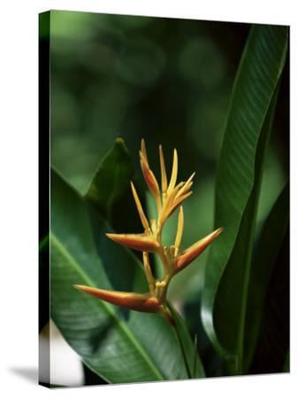 Heliconia Flower, St. Lucia, Windward Islands, West Indies, Caribbean, Central America-Yadid Levy-Stretched Canvas Print