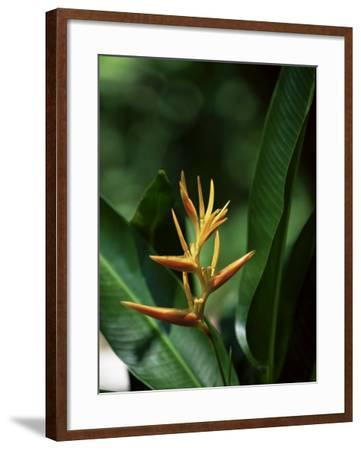 Heliconia Flower, St. Lucia, Windward Islands, West Indies, Caribbean, Central America-Yadid Levy-Framed Photographic Print