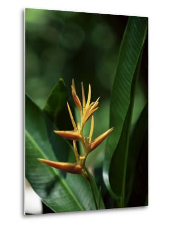 Heliconia Flower, St. Lucia, Windward Islands, West Indies, Caribbean, Central America-Yadid Levy-Metal Print