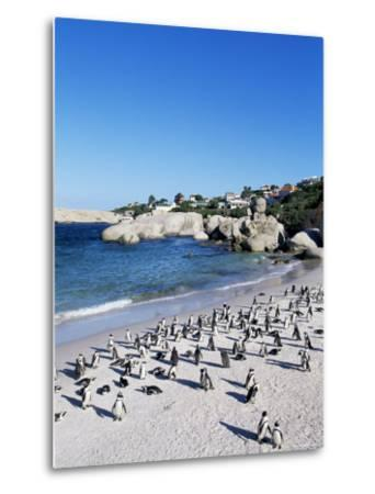 African Penguins at Boulder Beach in Simon's Town, Near Cape Town, South Africa, Africa-Yadid Levy-Metal Print