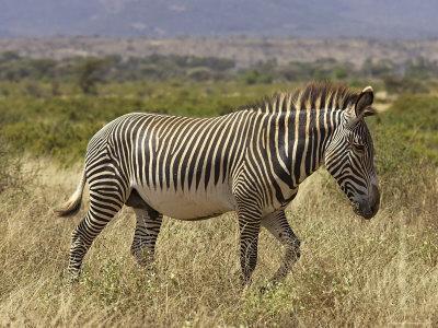 Male Grevy's Zebra (Equus Grevyi), Samburu Game Reserve, Kenya, East Africa, Africa-James Hager-Framed Photographic Print