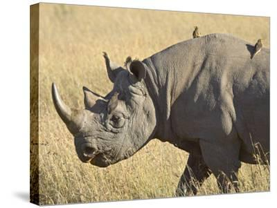 Black Rhinoceros or Hook-Lipped Rhinoceros with Yellow-Billed Oxpecker, Kenya, Africa-James Hager-Stretched Canvas Print