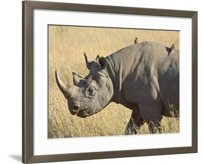 Black Rhinoceros or Hook-Lipped Rhinoceros with Yellow-Billed Oxpecker, Kenya, Africa-James Hager-Framed Photographic Print