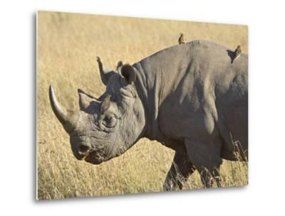 Black Rhinoceros or Hook-Lipped Rhinoceros with Yellow-Billed Oxpecker, Kenya, Africa-James Hager-Metal Print