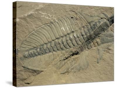 Ogygiopsis Klotzi, Fossil, Trilobite 50Mm Long with Small Fault Through It, Burgess Shale-Tony Waltham-Stretched Canvas Print
