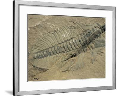 Ogygiopsis Klotzi, Fossil, Trilobite 50Mm Long with Small Fault Through It, Burgess Shale-Tony Waltham-Framed Photographic Print
