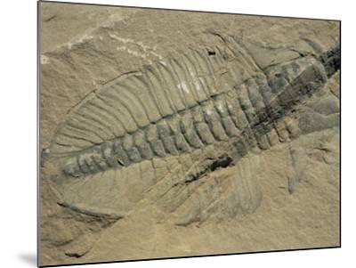 Ogygiopsis Klotzi, Fossil, Trilobite 50Mm Long with Small Fault Through It, Burgess Shale-Tony Waltham-Mounted Photographic Print