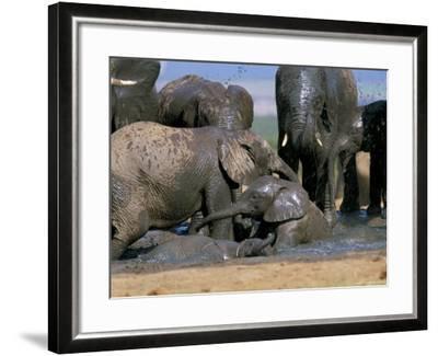 African Elephant (Loxodonta Africana) Mudbathing, Addo National Park, South Africa, Africa-Steve & Ann Toon-Framed Photographic Print