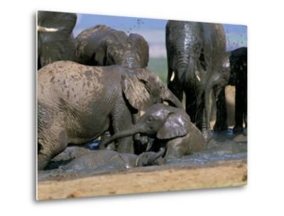 African Elephant (Loxodonta Africana) Mudbathing, Addo National Park, South Africa, Africa-Steve & Ann Toon-Metal Print
