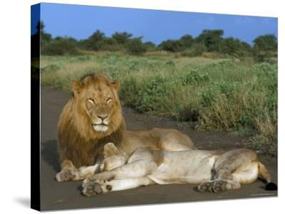 Lion and Lioness (Panthera Leo), Kruger National Park, South Africa, Africa-Steve & Ann Toon-Stretched Canvas Print